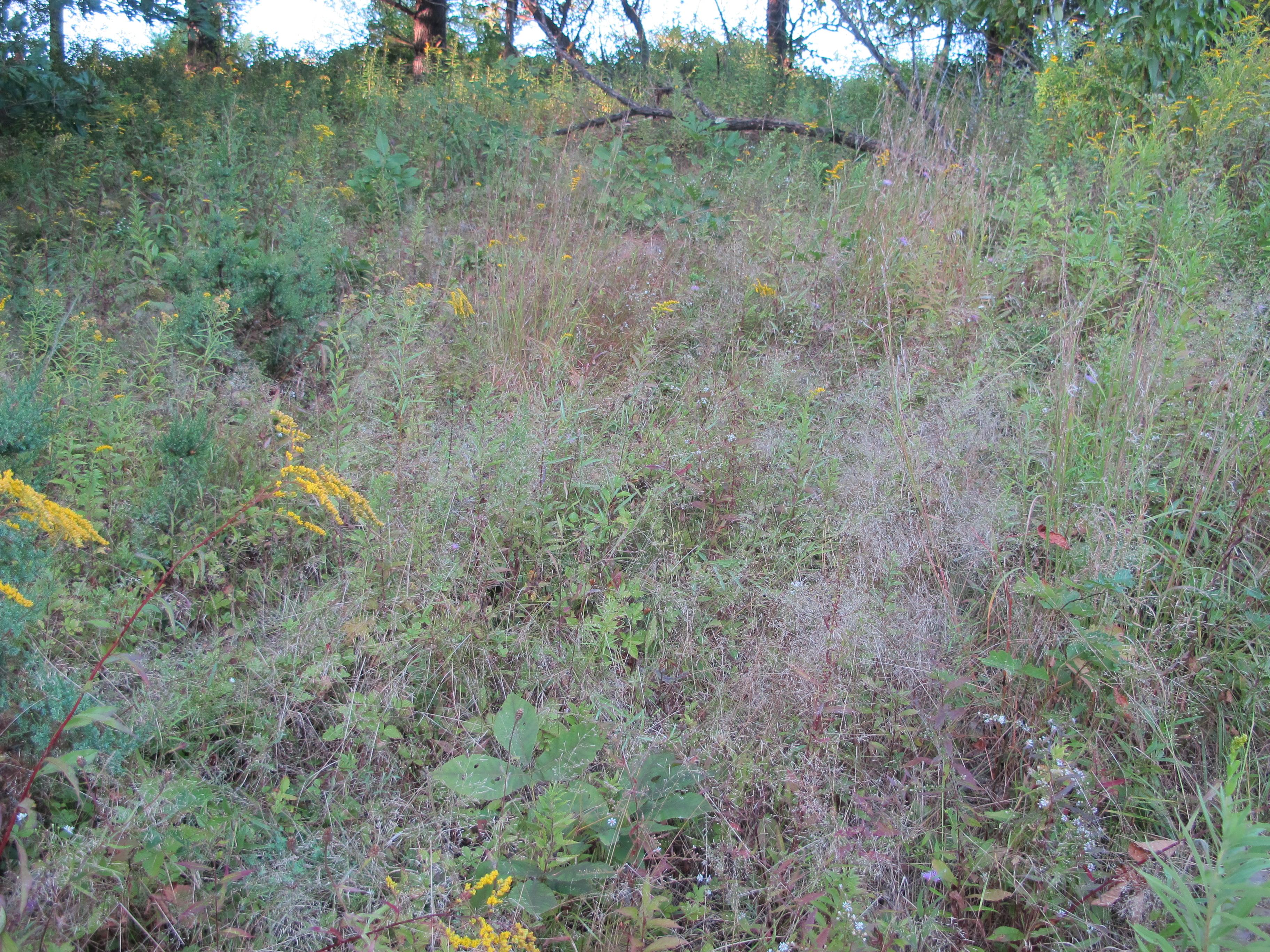 dry hillside covered in grasses and goldenrod