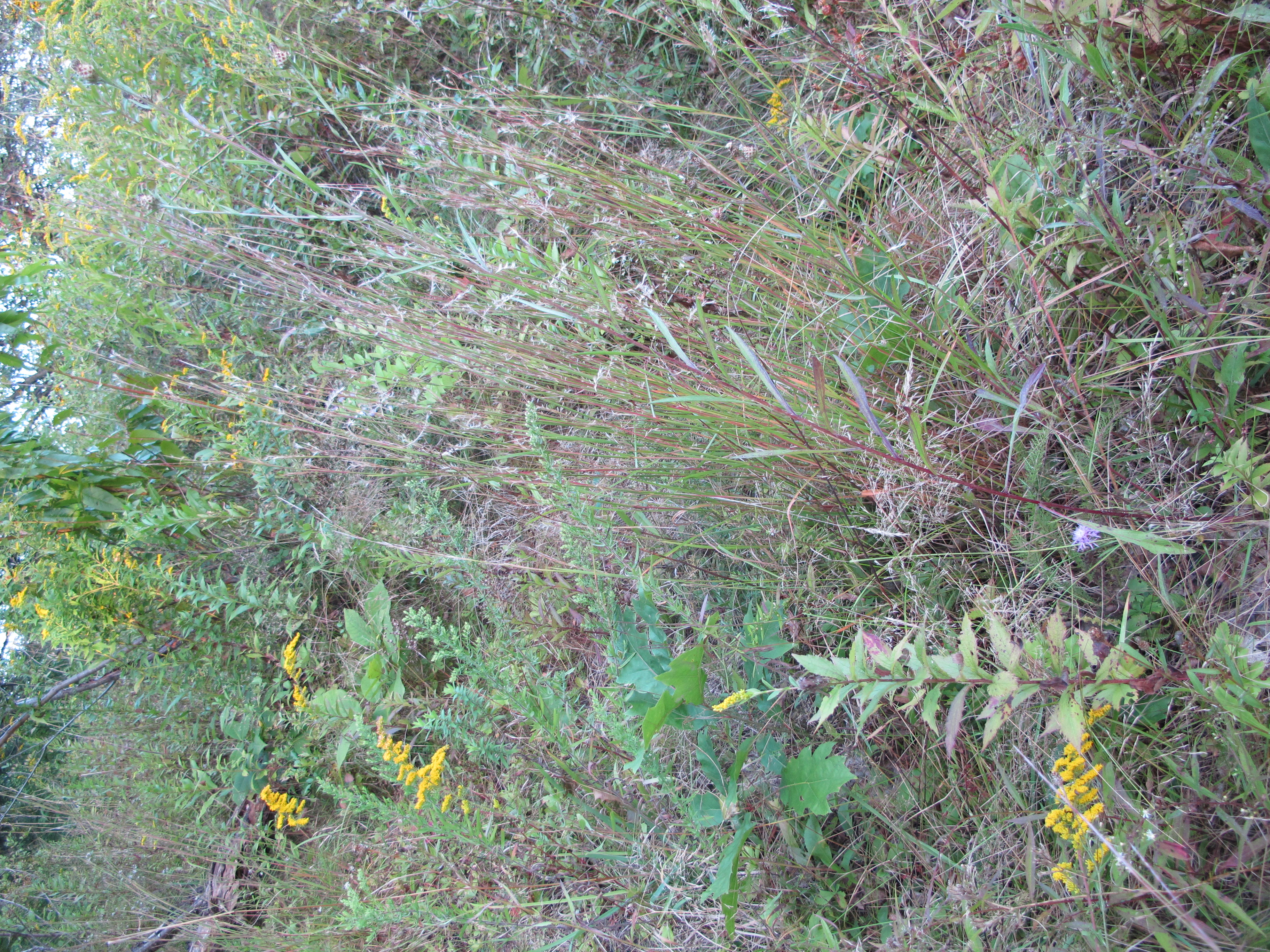 grass and yellow goldenrod flowers