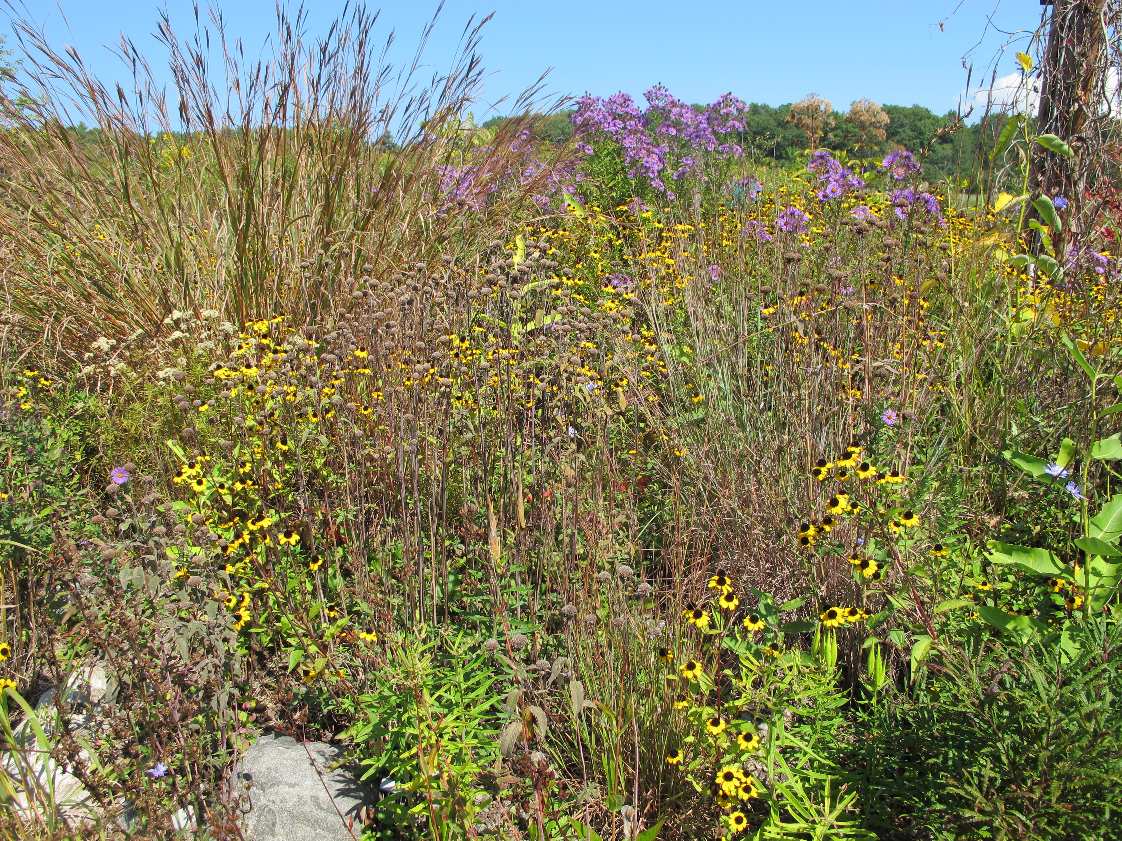 yellow Brown Eyed Susan's and purple new england asters blooming