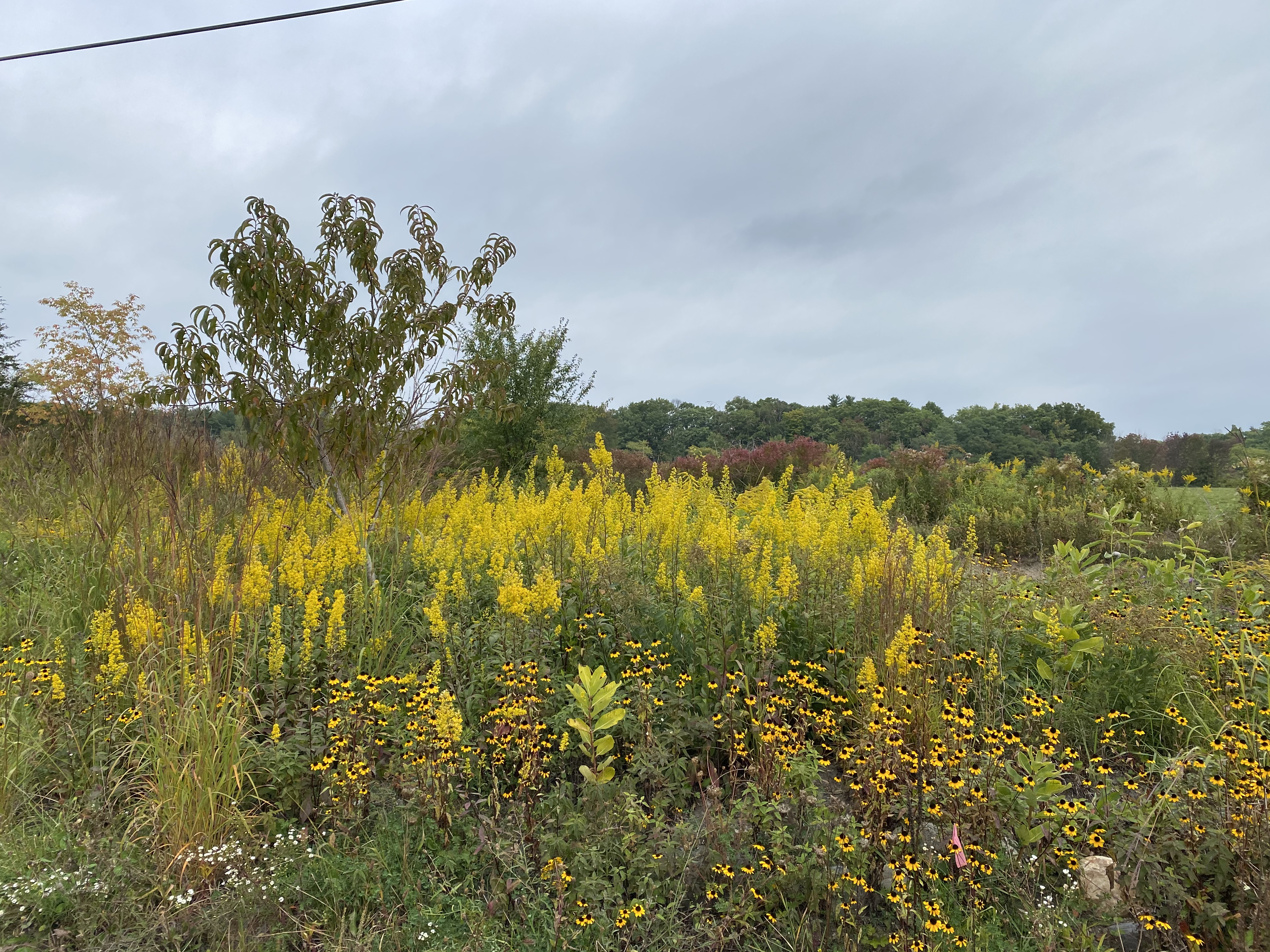 brilliant yellow blooms in late summer/early fall