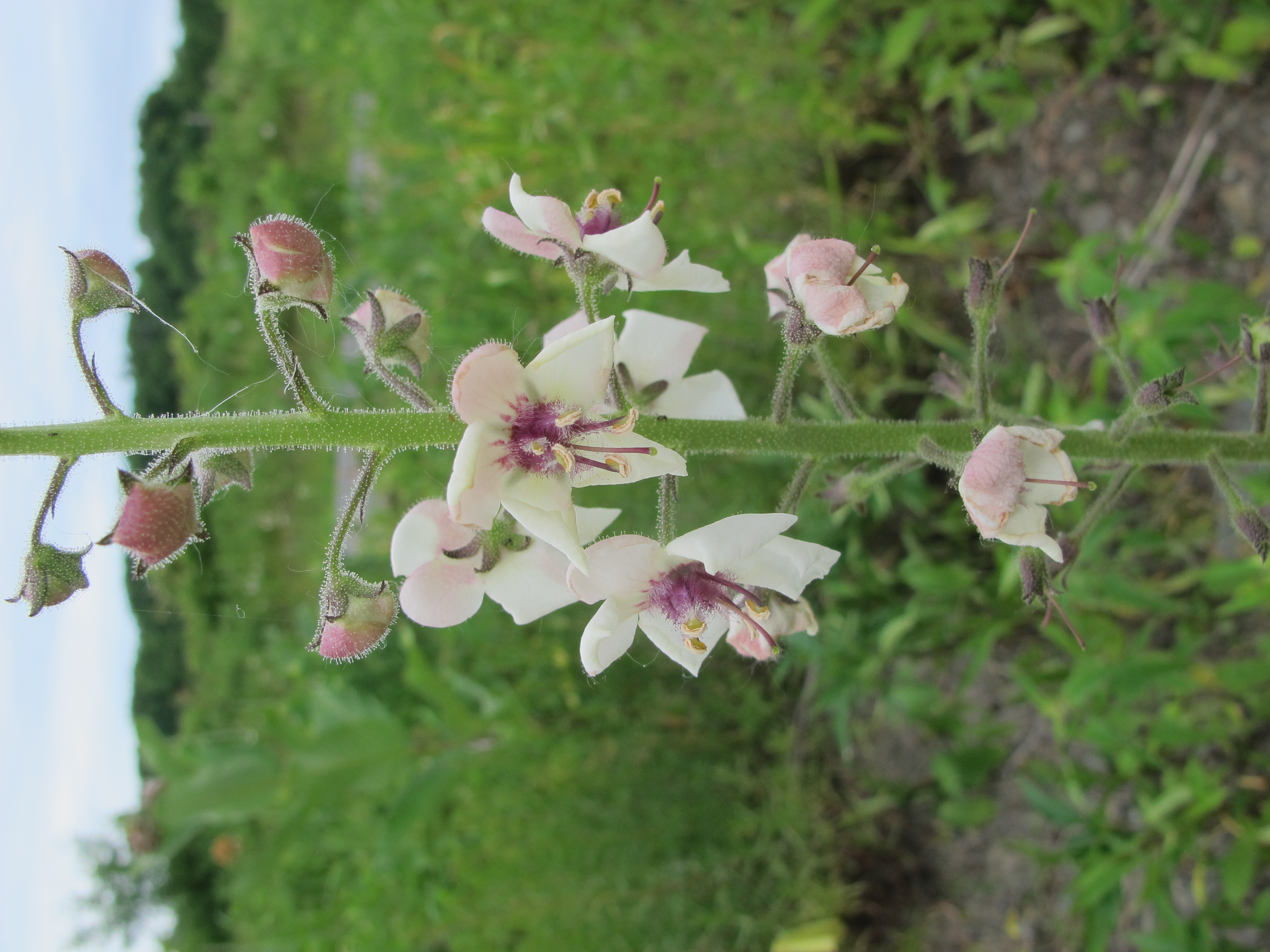 close-up view of white and purple moth mullein flower