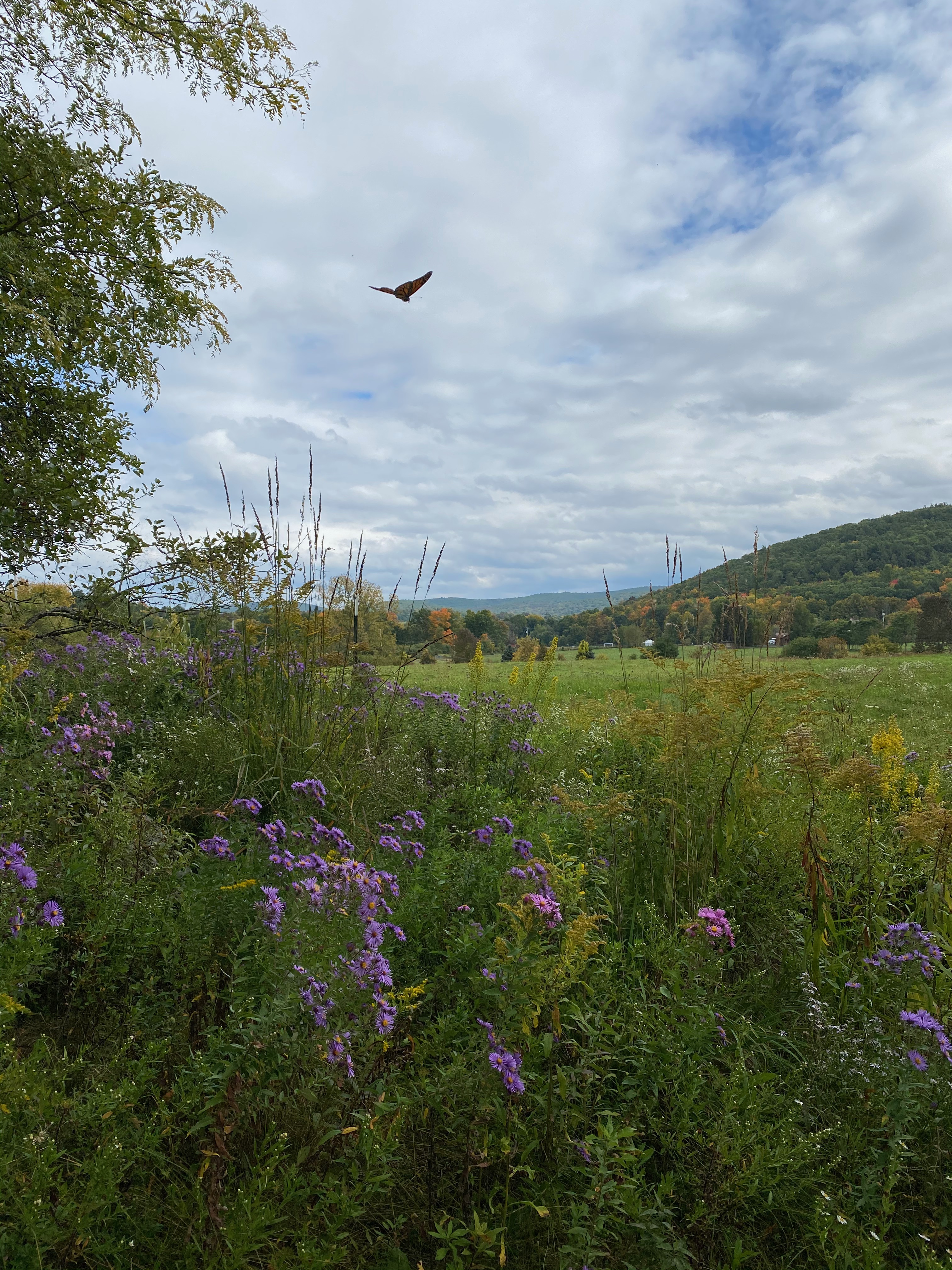 Monarch flying over purple blooming New England Asters in the meadow