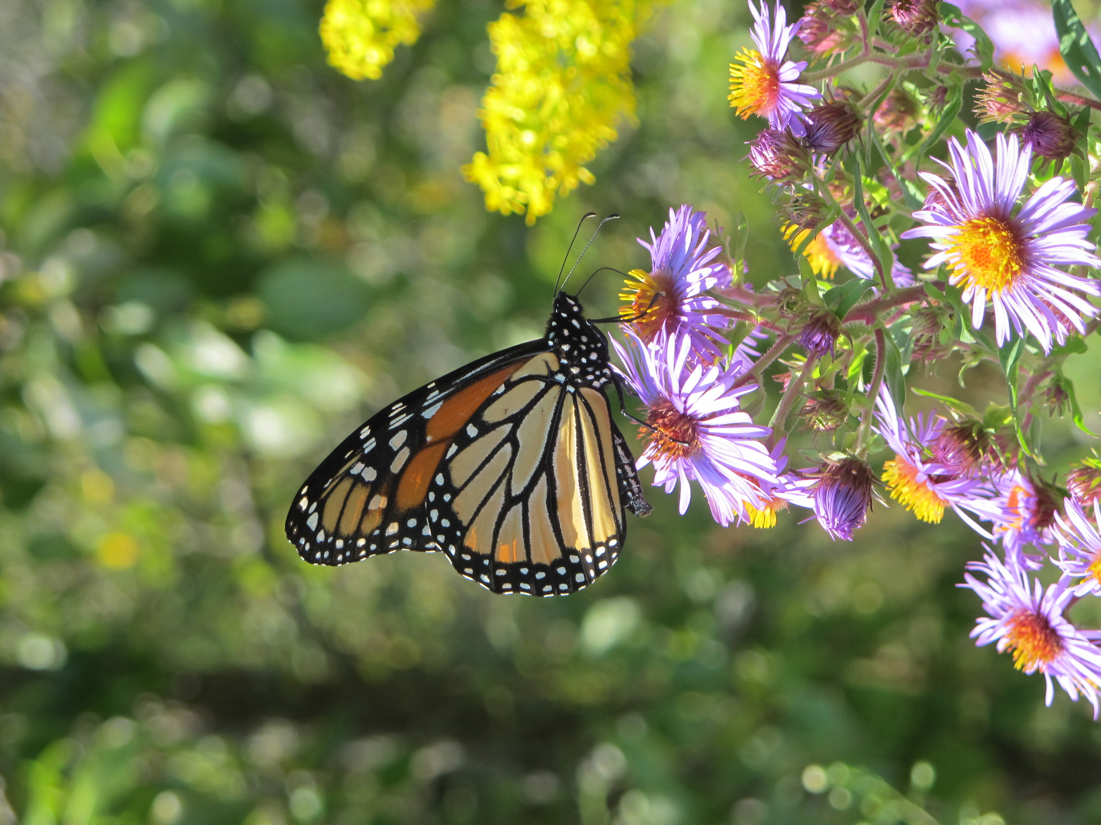 Monarch butterfly nectaring on a purple New England Aster