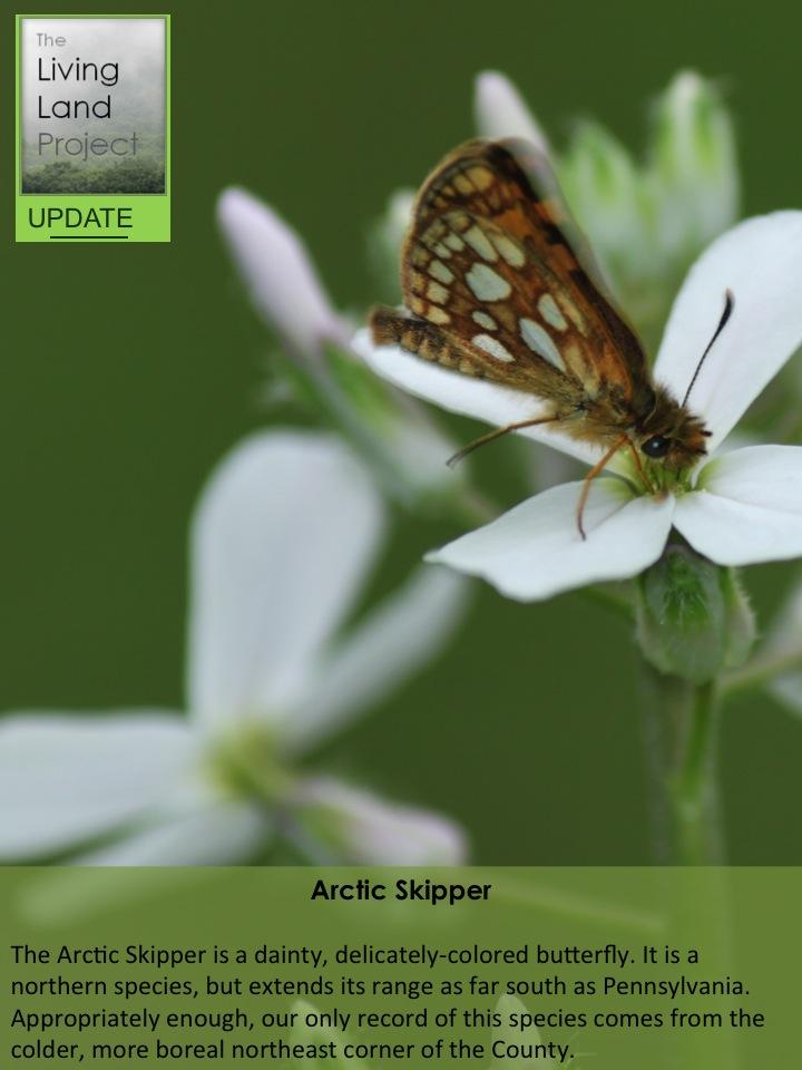 Arctic Skipper