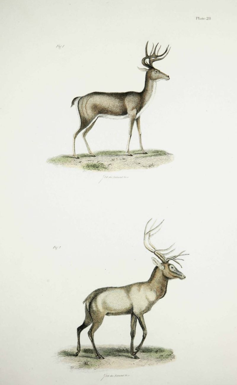Deer and Elk engraving