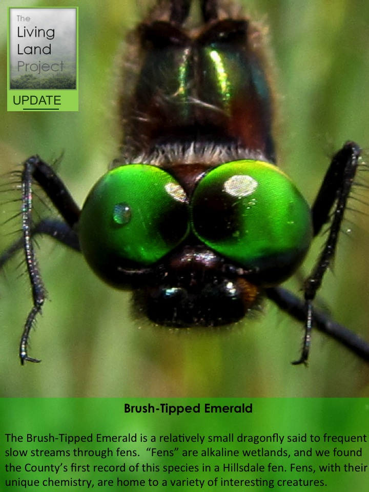 Brush-Tipped Emerald