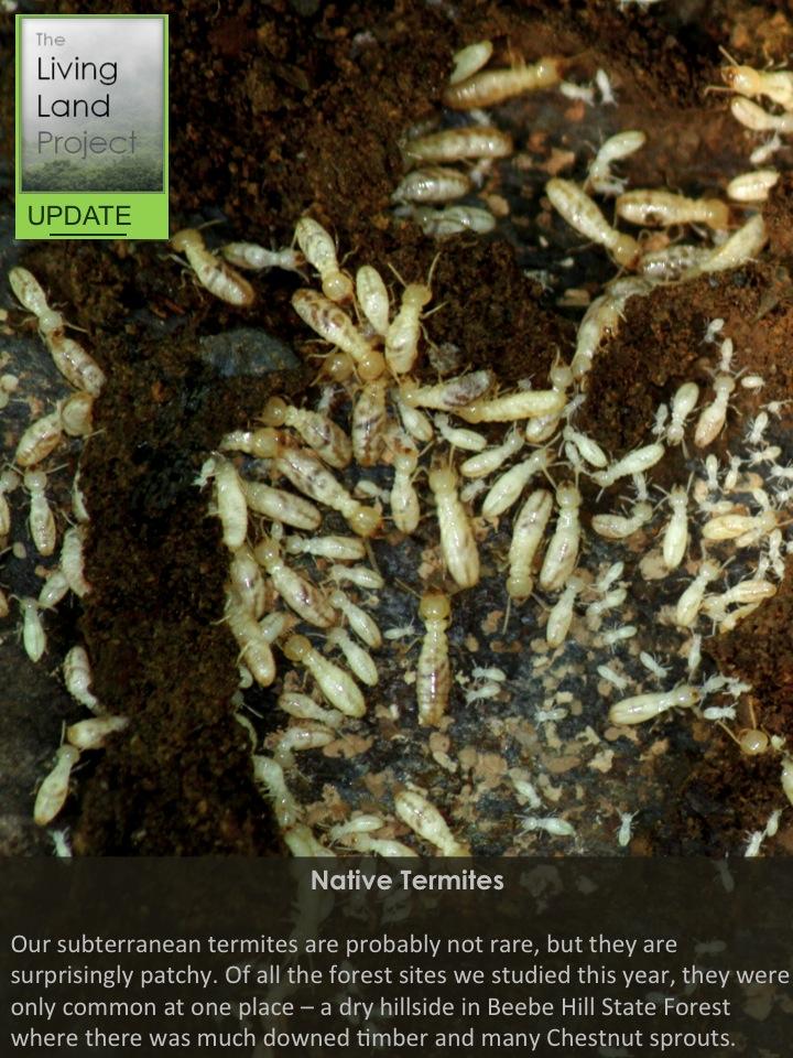 Native Termites