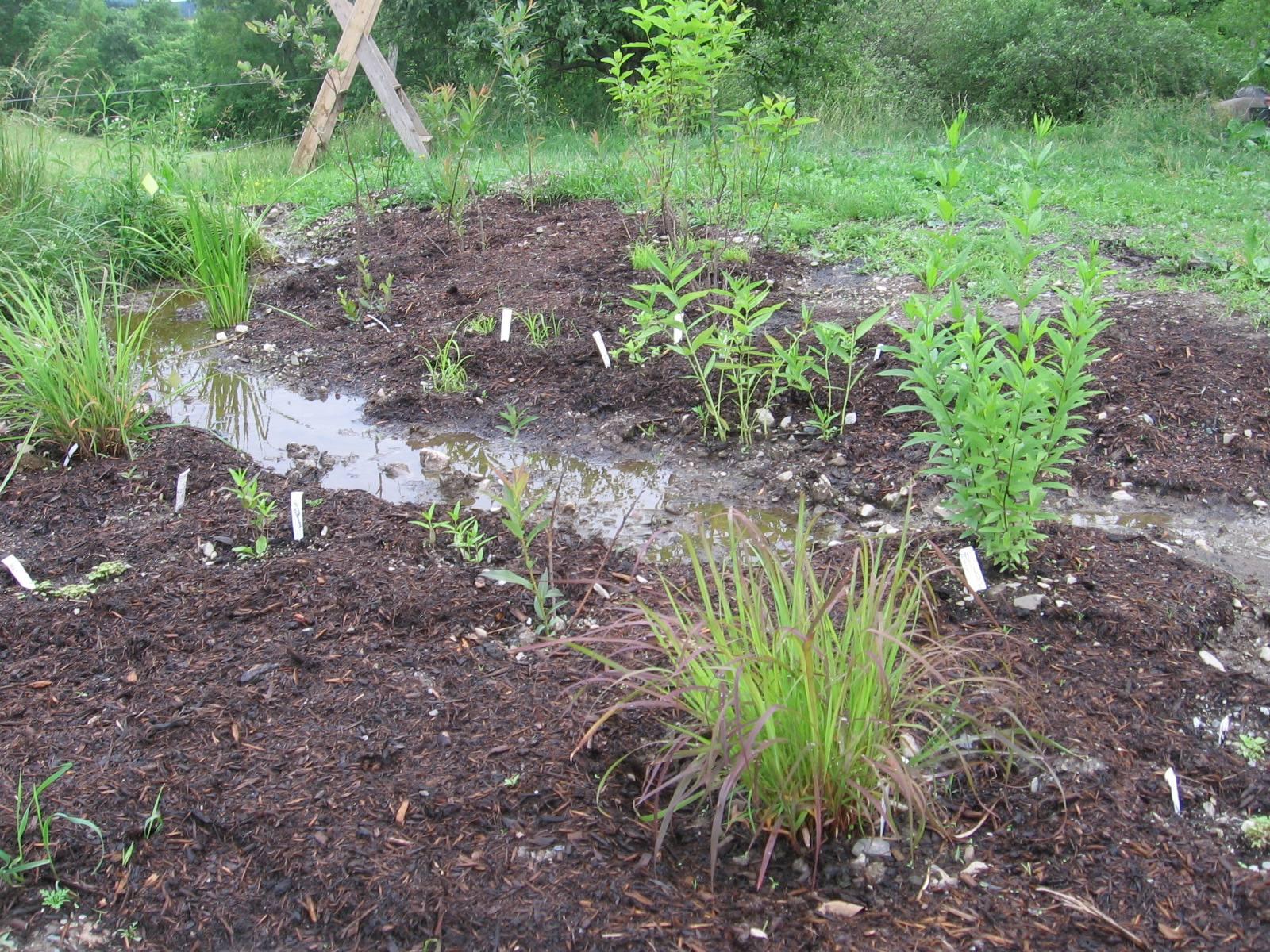 Rain Garden June 2011