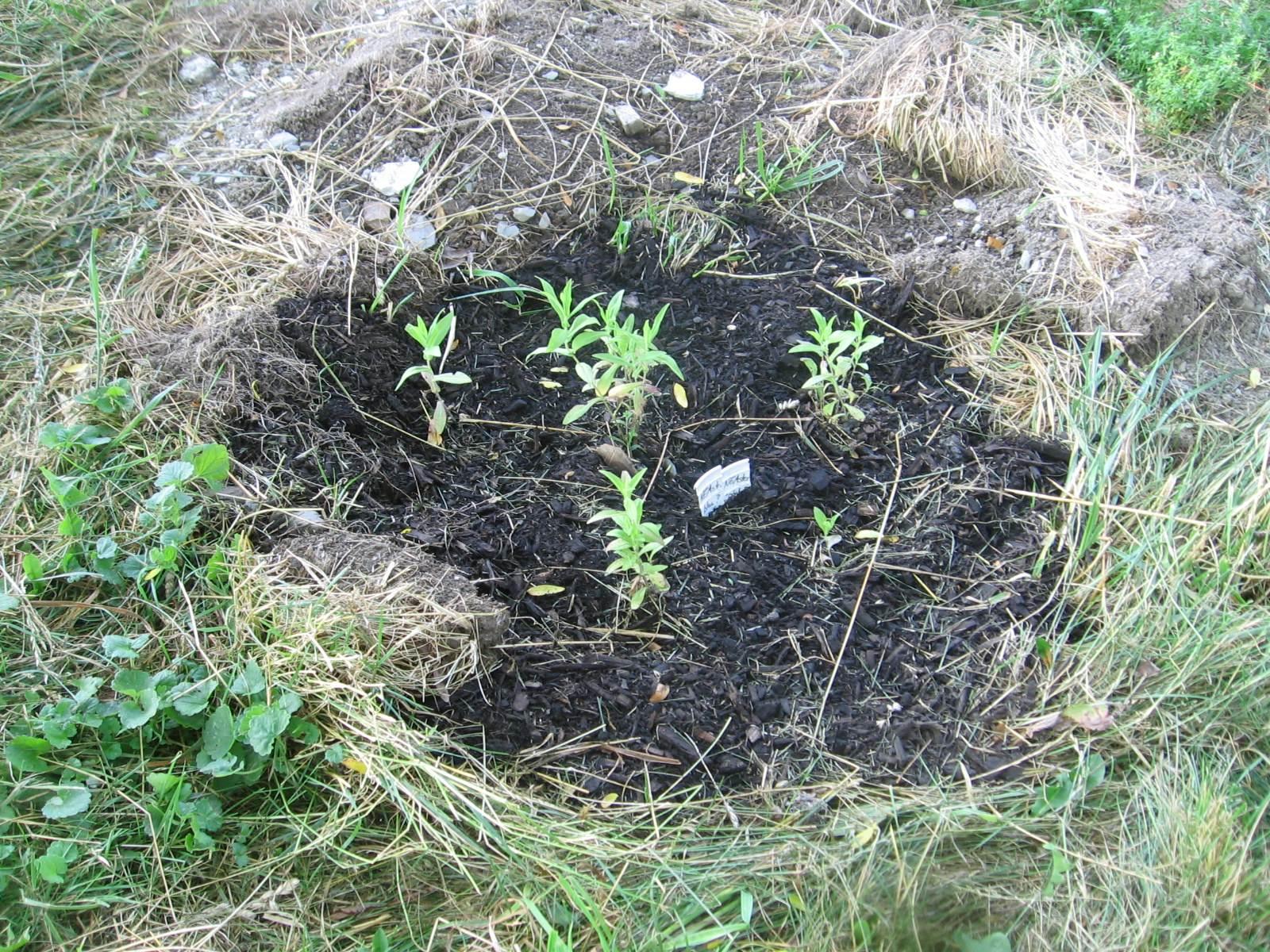 New England Aster (Symphyotrichum noveboracensis) seedlings