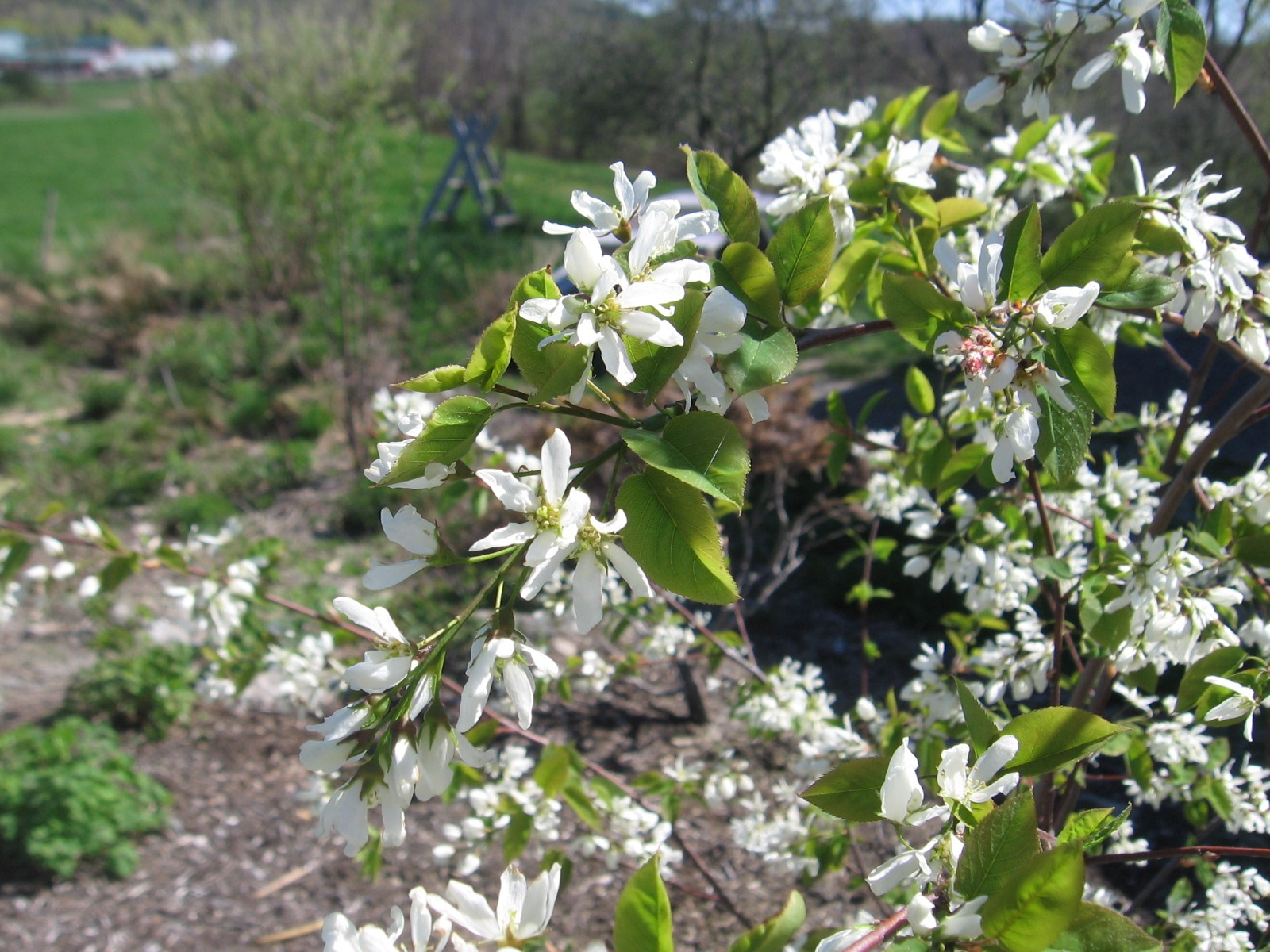 Shadbush (Amelanchier laevis)