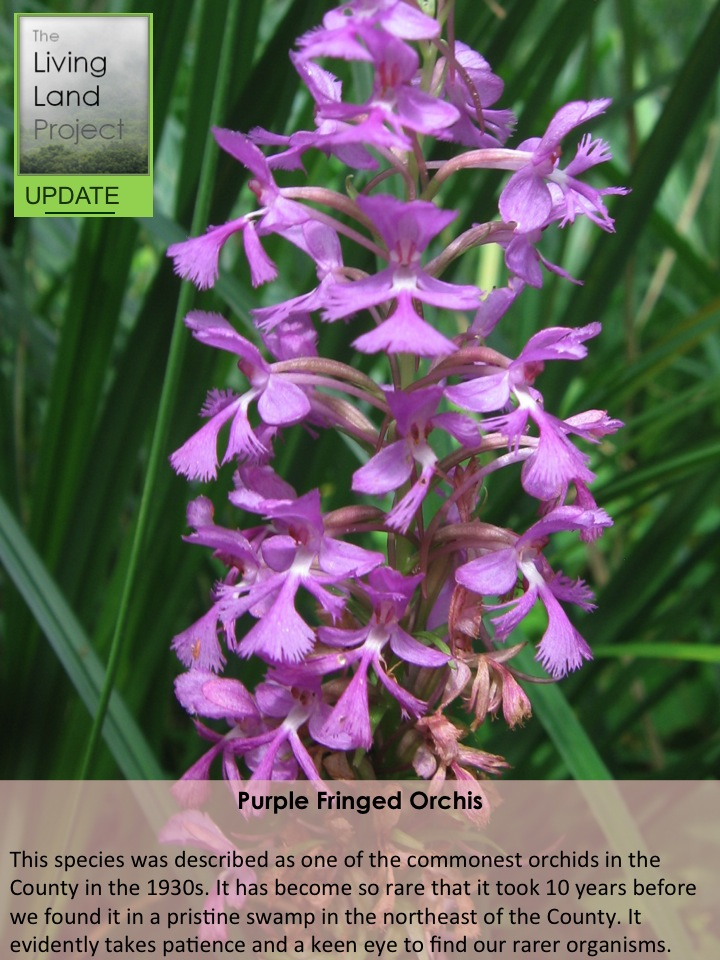 Purple Fringed Orchis