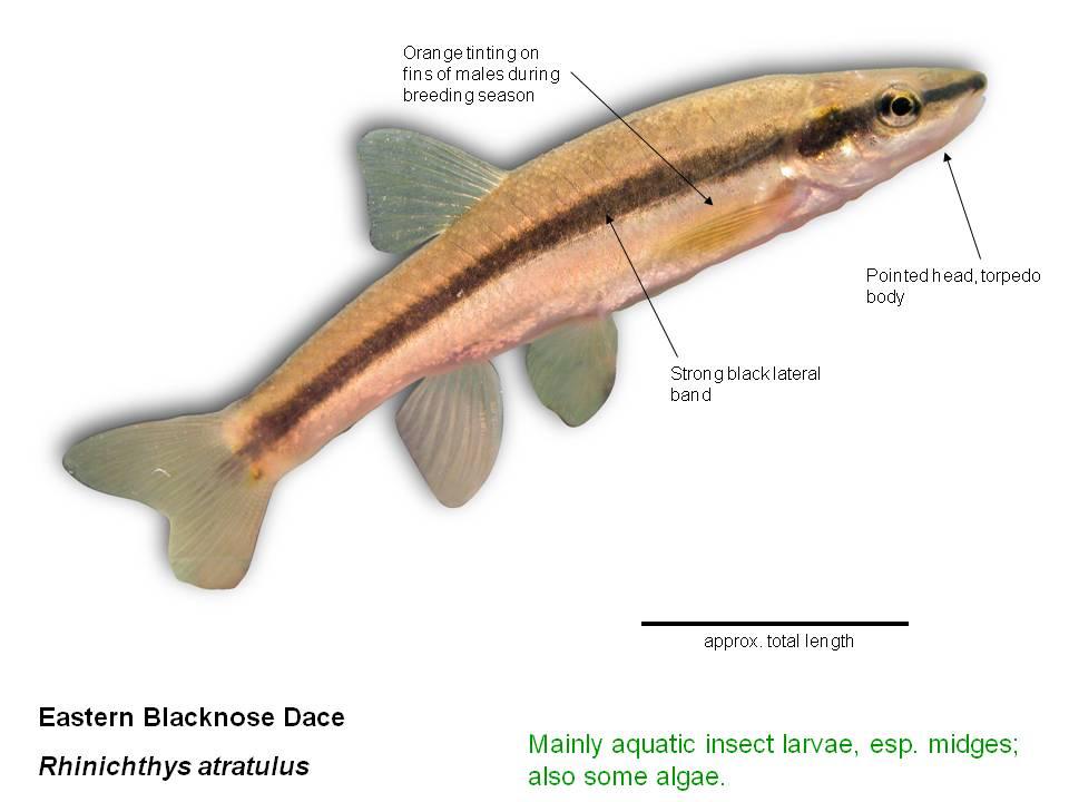 Common Stream Fish Farmscape Ecology Program