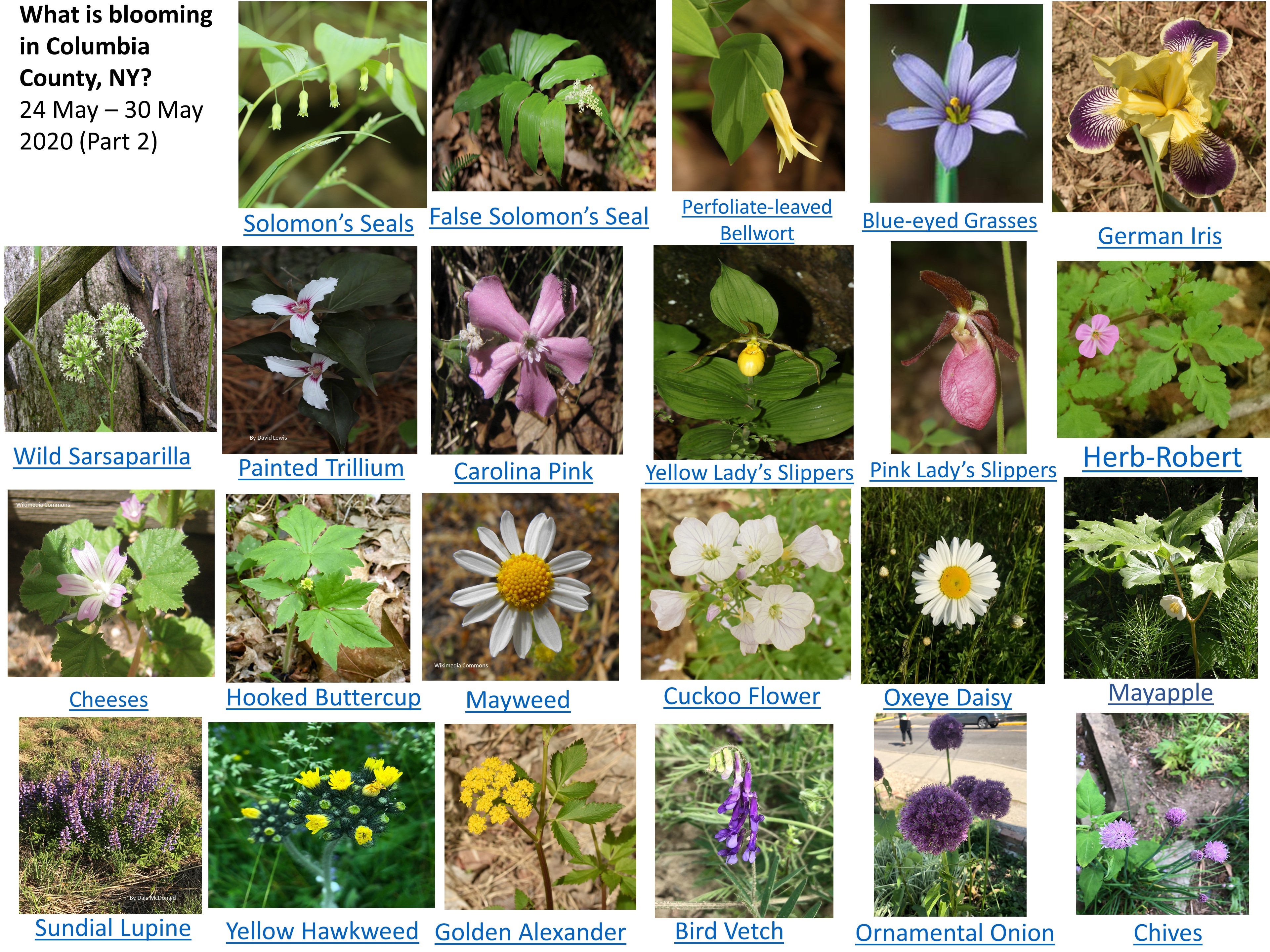 Spring Flowers in bloom in Columbia County NY 24 - 30 May 2020 Part 2