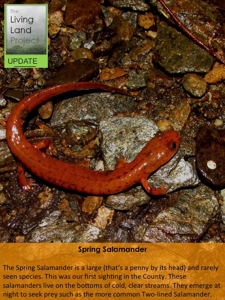 Spring Salamander