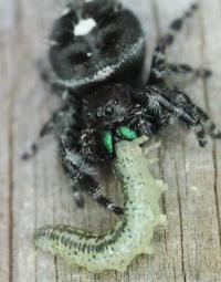 Jumping spider eating caterpillar