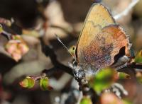 Brown Elfin butterfly