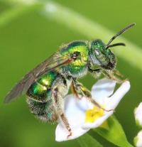 Sweat Bee photographed by Dylan Cipkowski at the Martin Van Buren National Historic Site.